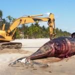 ASSOUINDE : Une troisième baleine meurt sur la plage